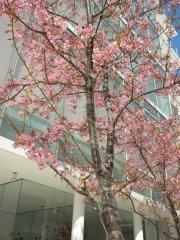 ご近所のカワヅザクラ(1)
