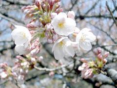 新宿御苑の桜で???す