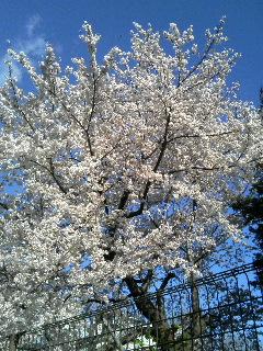 近所の公園の桜。満開です