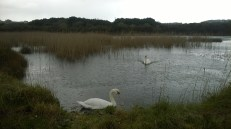 Swans enjoying the rain