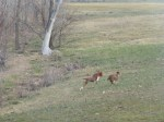 Buck chasing Sammie. She can outrun him!