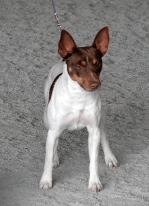 Toy Rat Terriers For Sale : terriers, Kennel-Raising, Terriers, Southwest, Virginia!