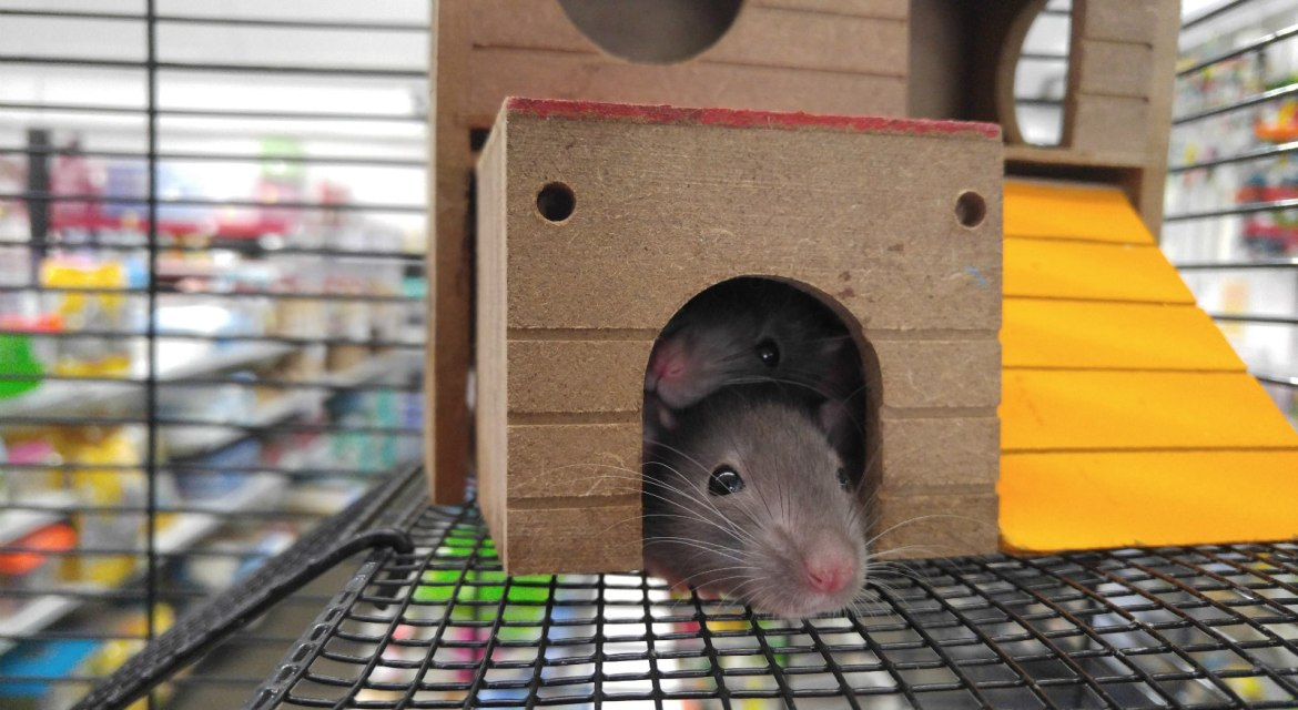Where Do I Buy Rats?