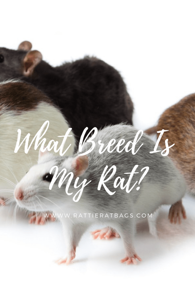 What Breed Is My Rat - www.rattieratbags.com