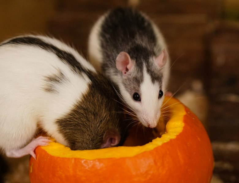 Can I Travel With Rats?
