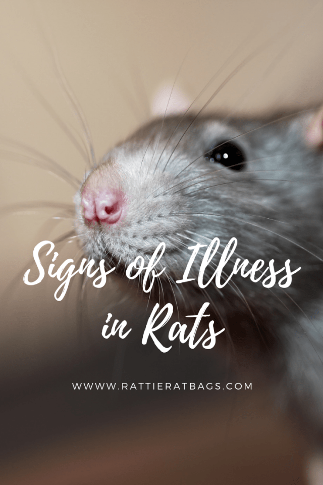 Signs of Illness in Rats - www.rattieratbags.com