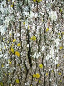 lichens on lightning struck ash