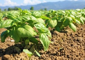 Basilikum Feld Anbau Asien