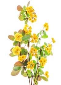 Berberitze Busch gelb
