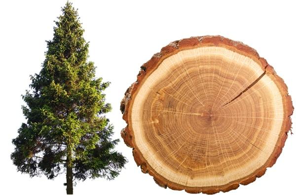Tanne Rauchsalz Baum und Scheibe