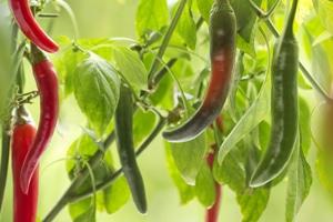 Warenkunde Rauchsalz Cayennepffer grüne und rote Schoten Garten