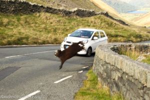 brown sheep jumping into road in front of a white car