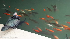 Muscovy duck watching Koi fish swim past