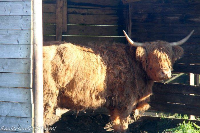 Highland Cow in Kilmahog