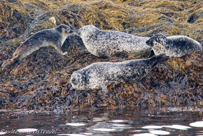 Two seals nose to nose in Kenmare Bay