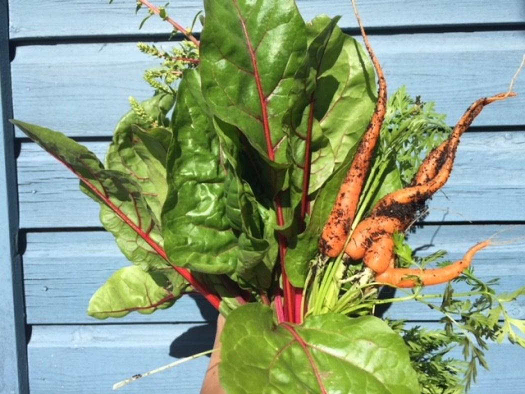 Sonntag im Garten gibt es Gemüse