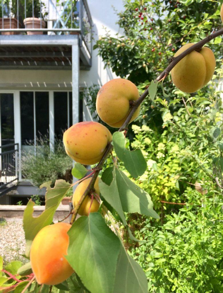 Bio Aprikosen aus dem eigenen Garten . Keine Selteneheit mehr
