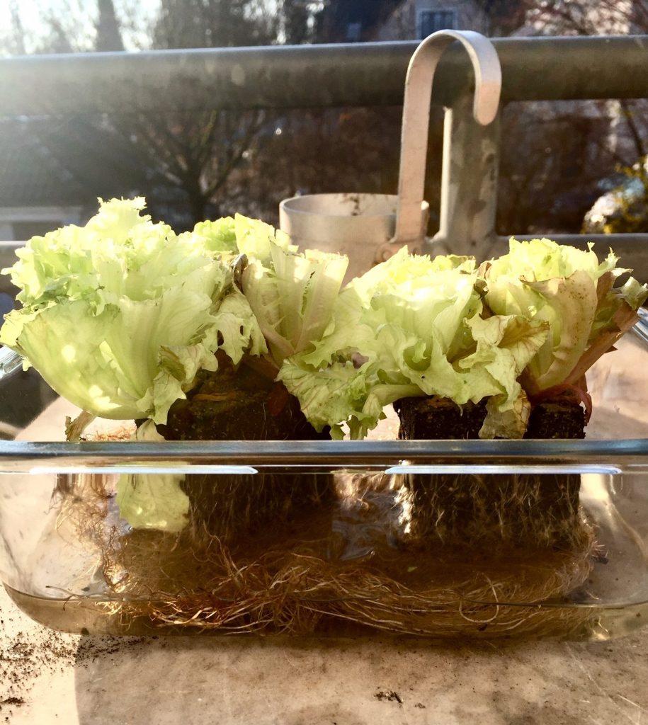 nachwachsende Rohstoffe beim Salat