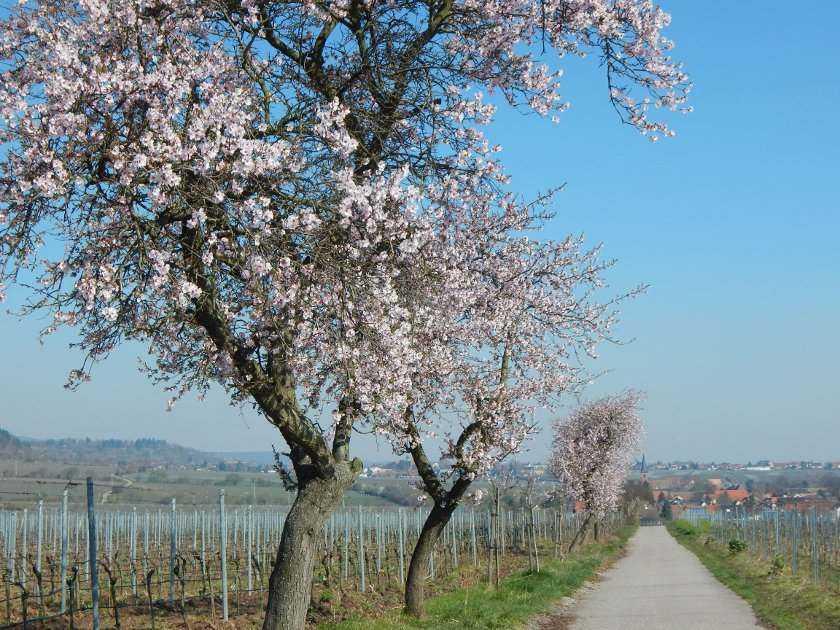 Mandelblüte Wanderweg