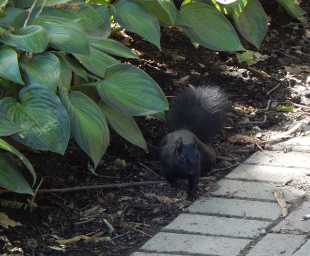 Eichhörnchen schwarz Kanada