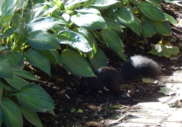 Eichhörnchen in Toronto grabend