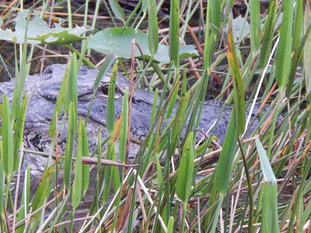 Alligator in den Bayous