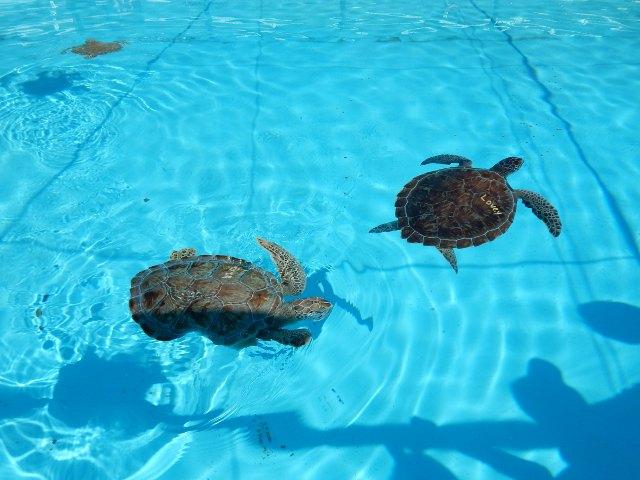 Lovey Schildkröte in Marathon Florida