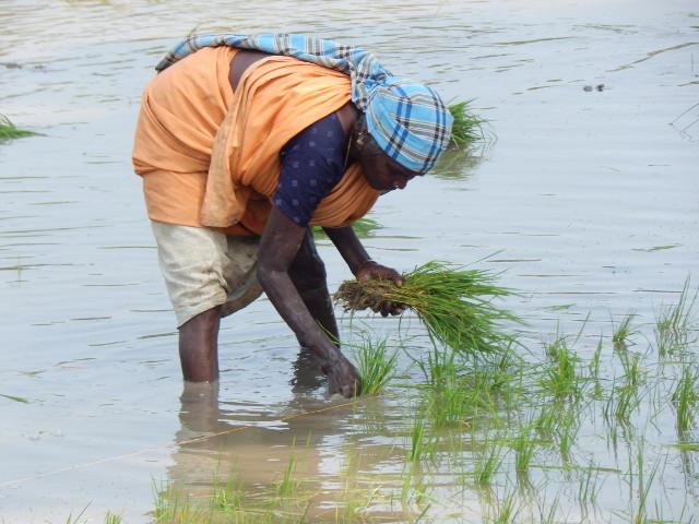 Reisanbau in Tamil Nadu bei Tanjore