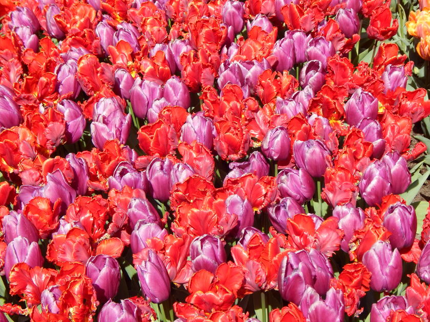 Ein Tulpenbeet mit hellroten und zartvioletten Tulpen