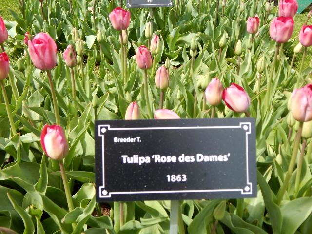 Tulipa Rose des Dames aus 1863.