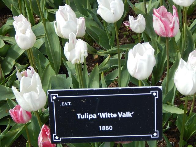 Tulipa Witte Valk, eine alte Tulpensorte aus 1880.