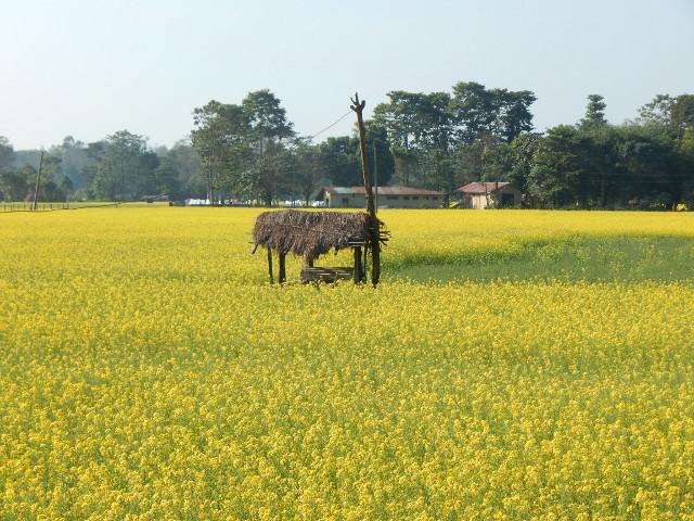 Gelb blühendes Senffeld beim Dorf Sauhara im Chitwan Nationalpark in Nepal.