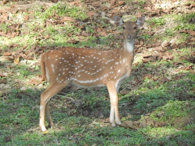 Axishirsch (Chital), Hirschkuh im Chitwan Nationalpark in Nepal