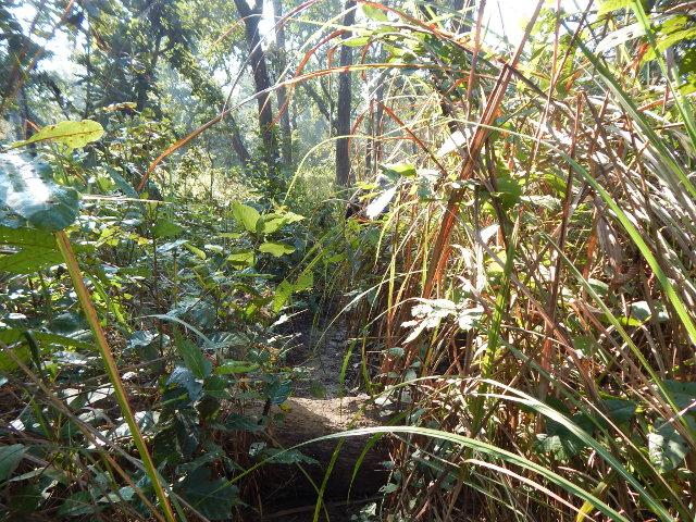 Wanderung zwischen Elefantengras im Chitwan NP