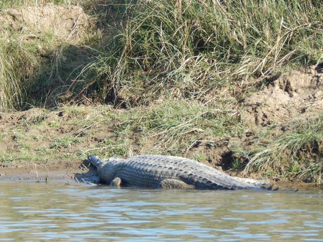 Gavial, eine seltene Krokodilart, erkennbar an der schmalen Schnauze. Chitwan Nationalpark in Nepal.