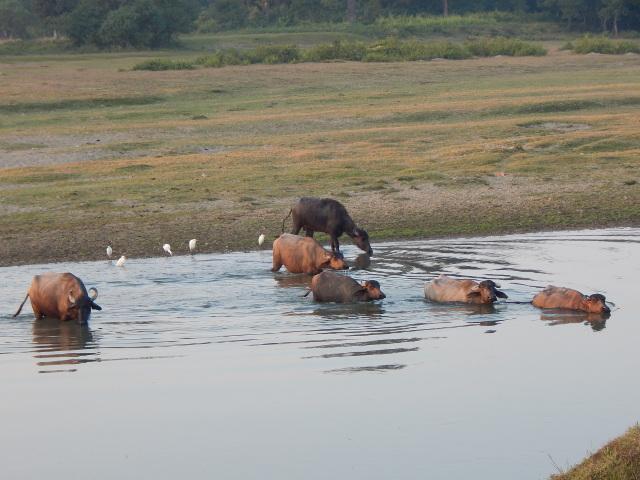 Eine Rinderherde überquert den Fluss Rapti.