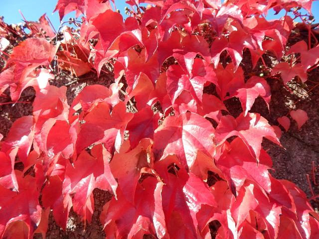 Tiefrotes Weinlaub im Herbst