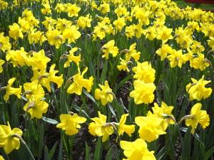 Gelbe Narzissen leuchten mit der Sonne um die Wette.