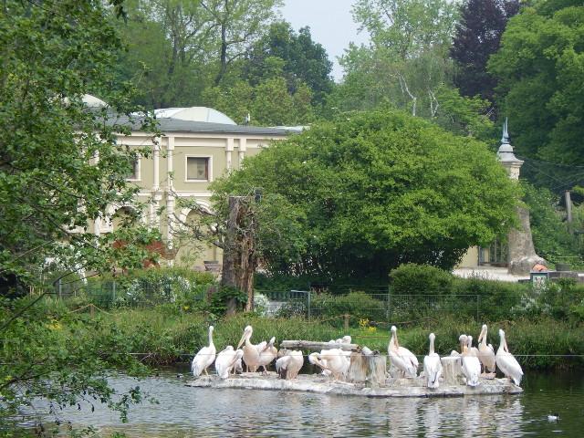 Pelikane auf der Teichinsel im Kölner Zoo.