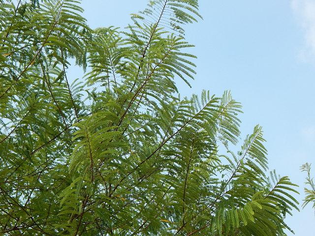 melaka tree, melakabaum