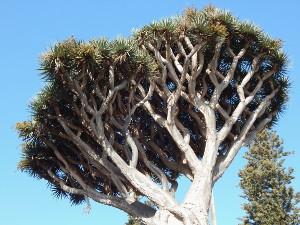 Drachenbaum Kanaren