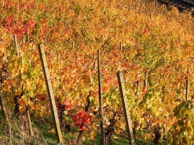 Buntes Laub der Weinstöcke im Bopparder Hamm bei der Weinwanderung.
