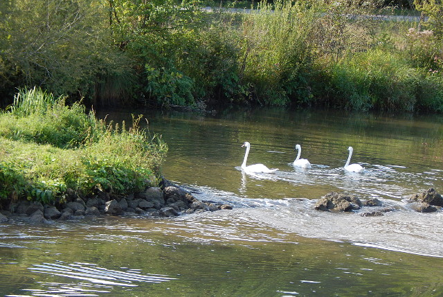 Schwäne im Main-Donau-Kanal