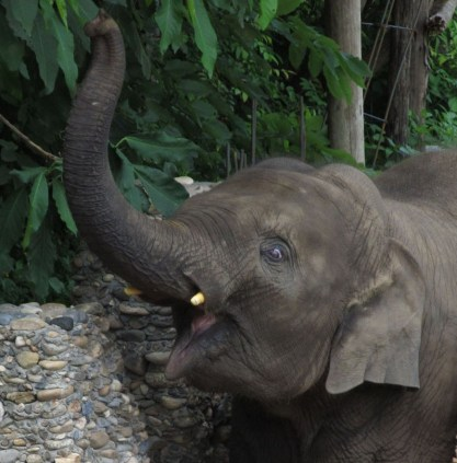 Chang Yim - likeable wee rascal at Elephant Nature Park.