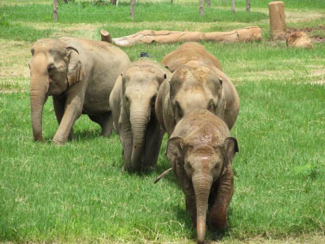 Faa Mai leads some of the elephants towards the skywalk at Elephant Nature Park.