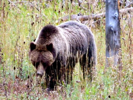 Big Grizzly