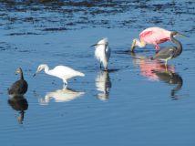Egrets, herons, and spoonbills
