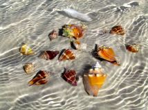Collection of live conchs