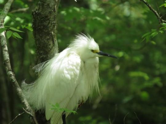 Snowy Egret In Breeding Plumage