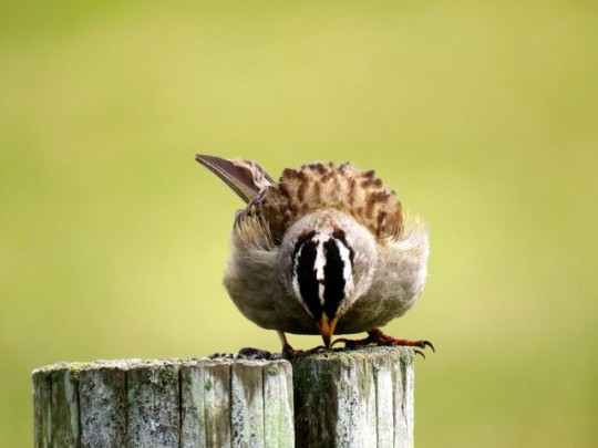 Busy White Crowned Sparrow